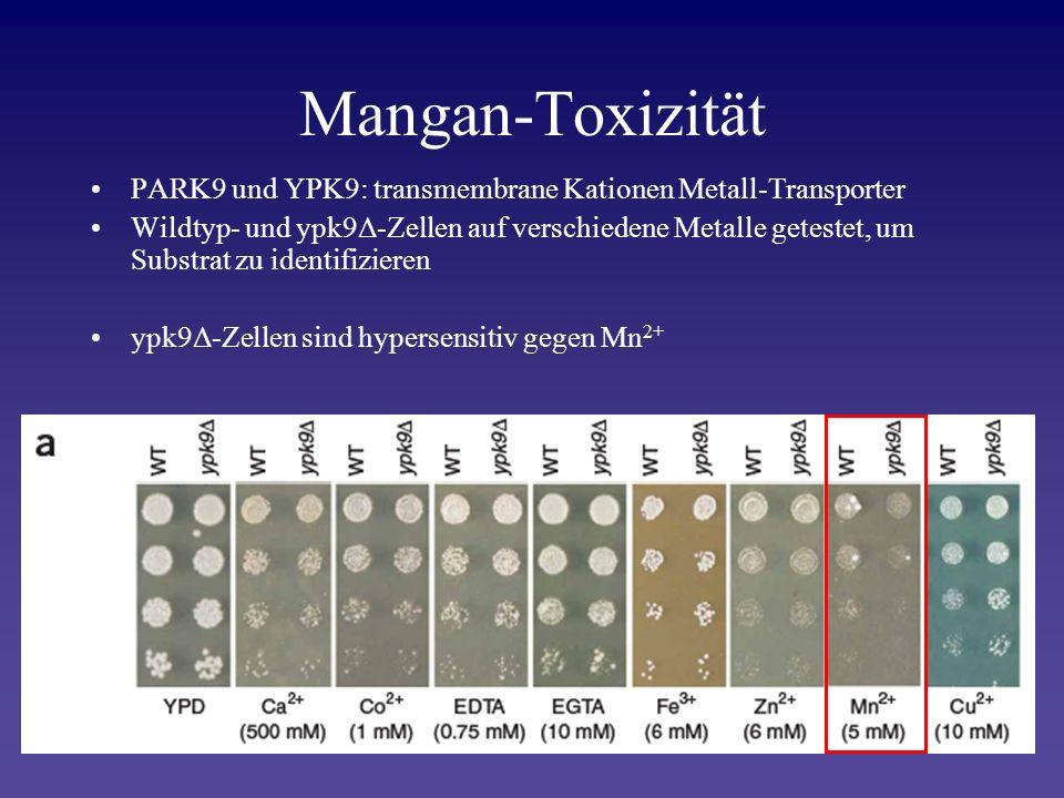 Mangan-Toxizität PARK9 und YPK9: transmembrane Kationen Metall-Transporter.