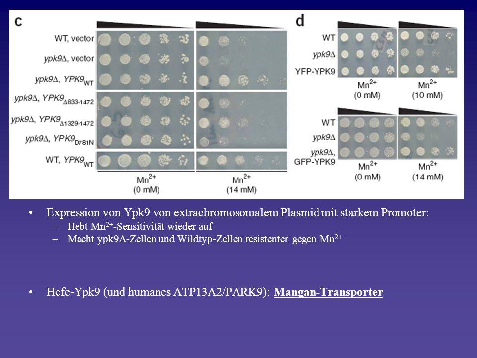 Hefe-Ypk9 (und humanes ATP13A2/PARK9): Mangan-Transporter