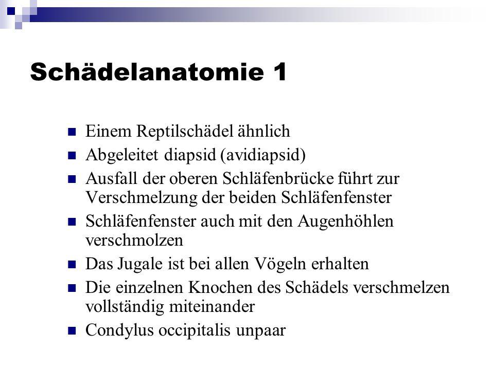 Schädelanatomie 1 Einem Reptilschädel ähnlich
