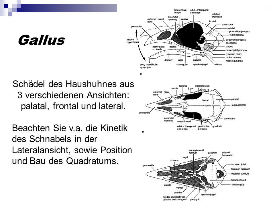 Gallus Schädel des Haushuhnes aus 3 verschiedenen Ansichten: palatal, frontal und lateral.