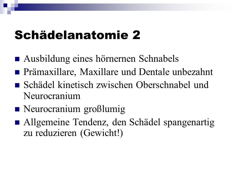 Schädelanatomie 2 Ausbildung eines hörnernen Schnabels