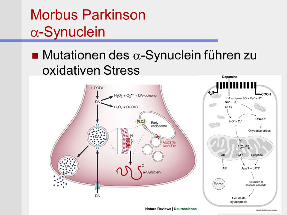 Morbus Parkinson a-Synuclein
