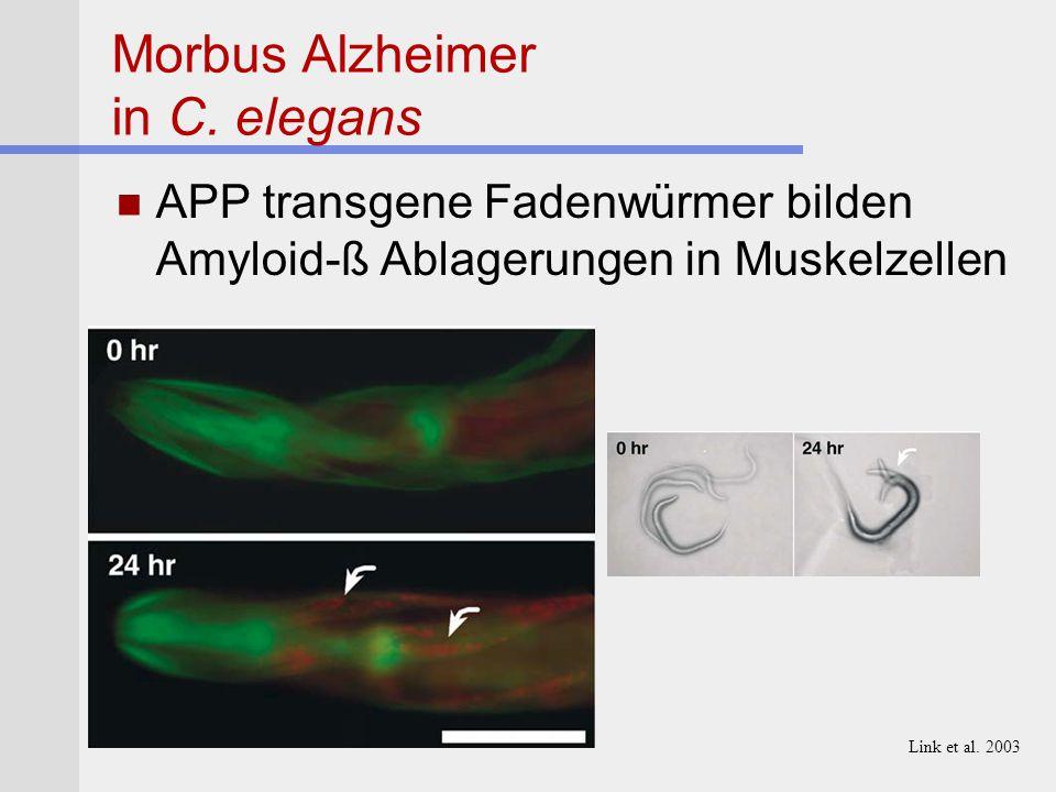 Morbus Alzheimer in C. elegans