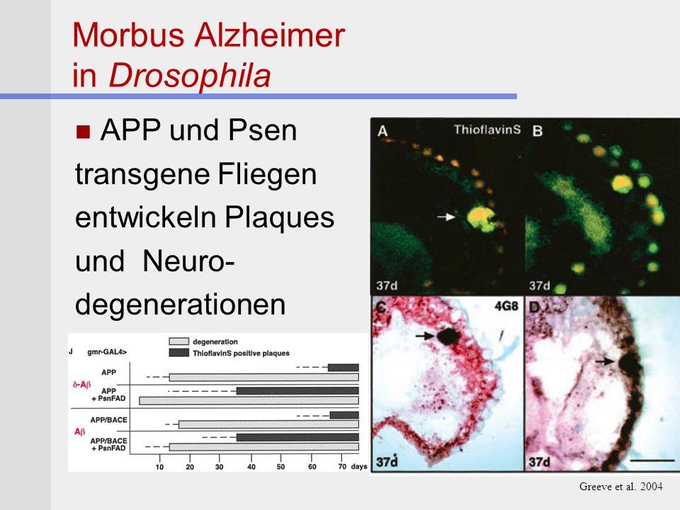 Morbus Alzheimer in Drosophila