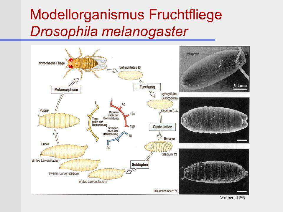 Modellorganismus Fruchtfliege Drosophila melanogaster