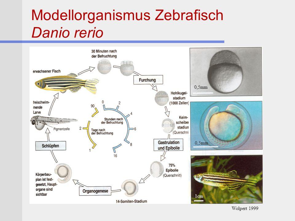 Modellorganismus Zebrafisch Danio rerio