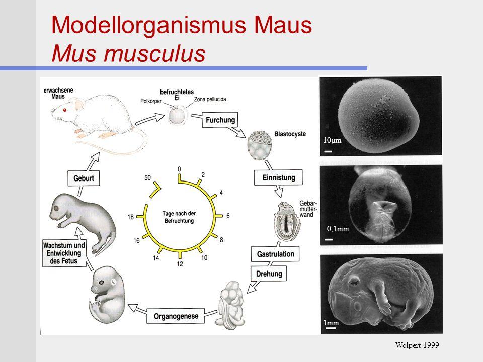 Modellorganismus Maus Mus musculus