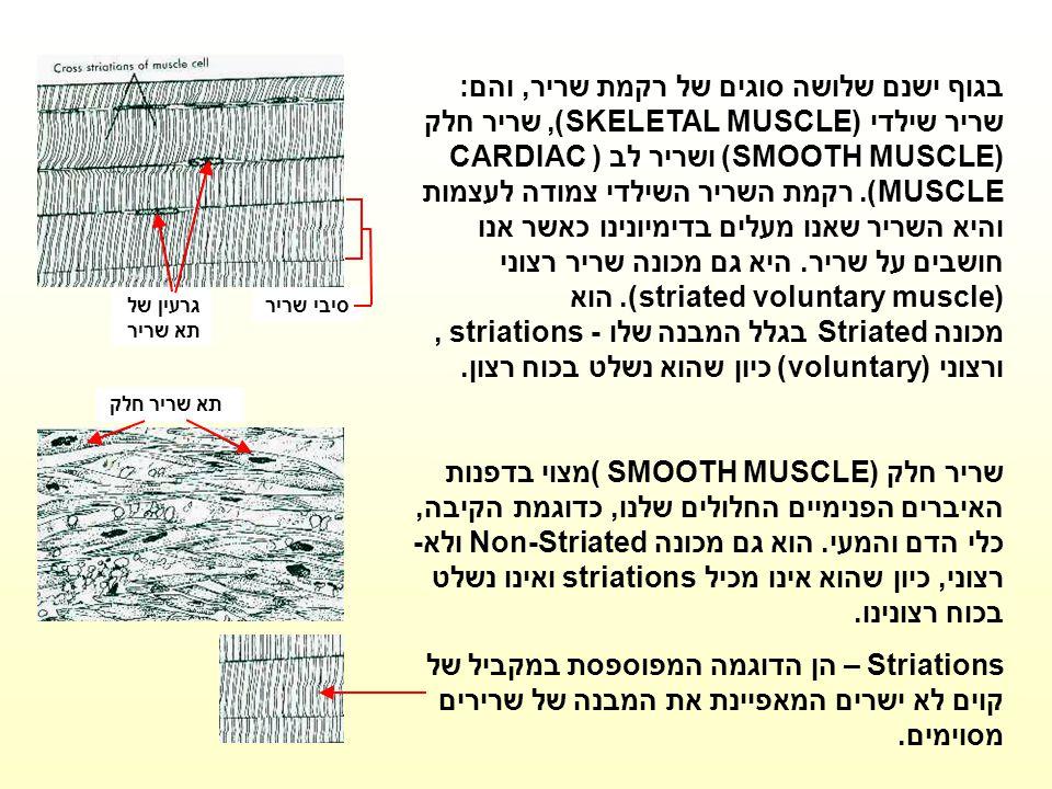 גרעין של תא שריר סיבי שריר.