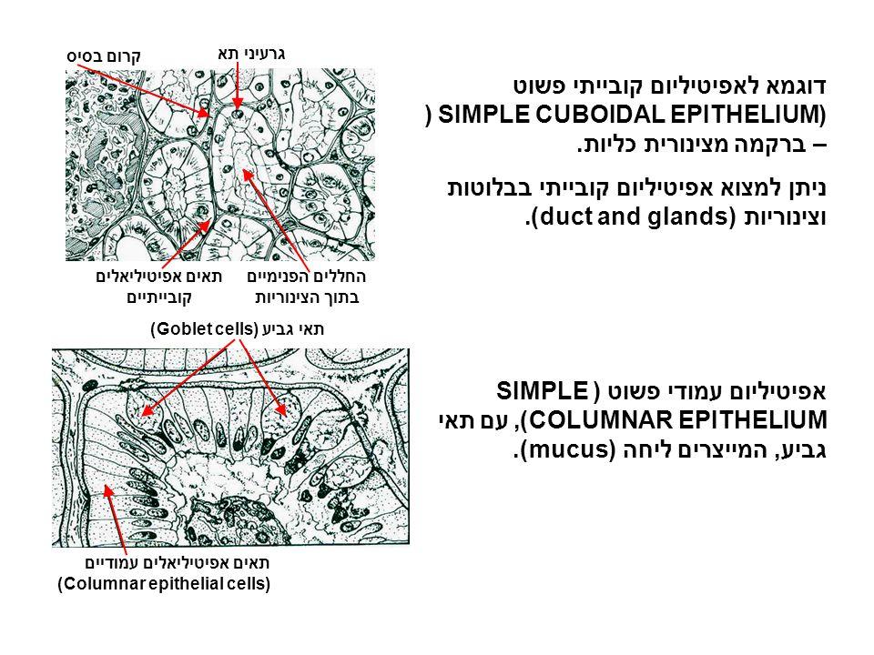 תאים אפיטיליאלים קובייתיים החללים הפנימיים בתוך הצינוריות