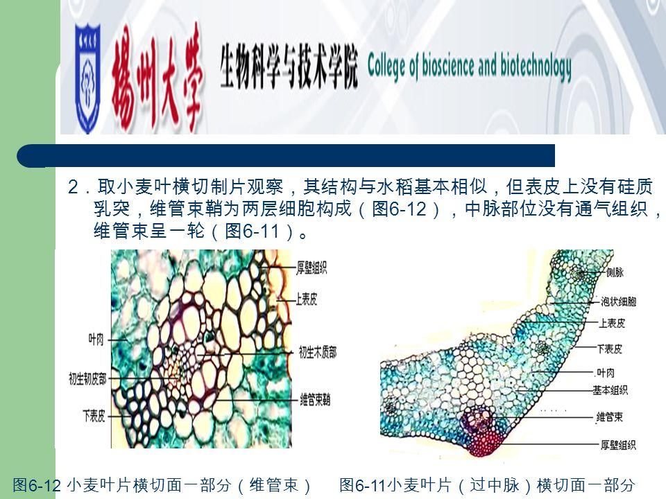 2.取小麦叶横切制片观察,其结构与水稻基本相似,但表皮上没有硅质乳突,维管束鞘为两层细胞构成(图6-12),中脉部位没有通气组织,维管束呈一轮(图6-11)。
