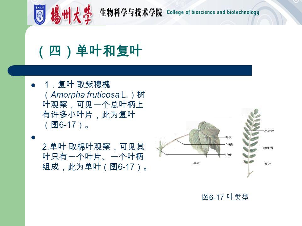 (四)单叶和复叶 1.复叶 取紫穗槐(Amorpha fruticosa L.)树叶观察,可见一个总叶柄上有许多小叶片,此为复叶(图6-17)。 2.单叶 取棉叶观察,可见其叶只有一个叶片、一个叶柄组成,此为单叶(图6-17)。