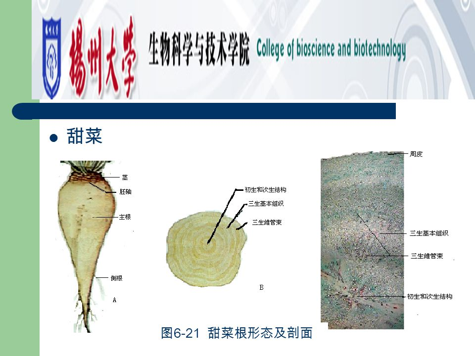 甜菜 图6-21 甜菜根形态及剖面