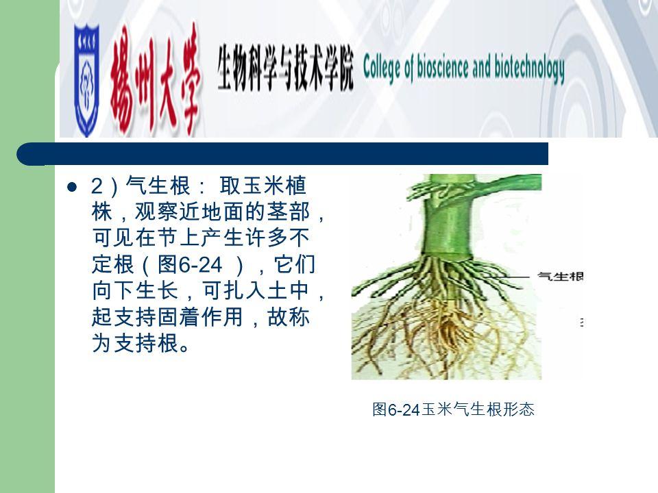 2)气生根: 取玉米植株,观察近地面的茎部,可见在节上产生许多不定根(图6-24 ),它们向下生长,可扎入土中,起支持固着作用,故称为支持根。
