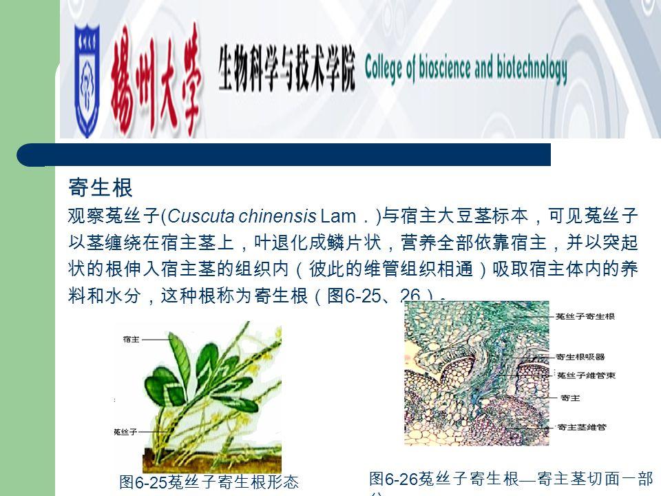 寄生根 观察菟丝子(Cuscuta chinensis Lam.)与宿主大豆茎标本,可见菟丝子