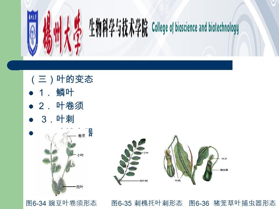 (三)叶的变态 1. 鳞叶 2. 叶卷须 3.叶刺 4.叶捕虫器 图6-34 豌豆叶卷须形态