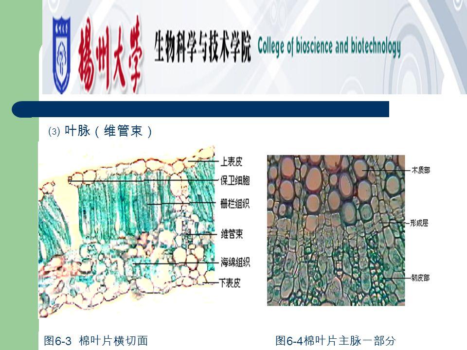 ⑶ 叶脉(维管束) 图6-4棉叶片主脉一部分 图6-3 棉叶片横切面