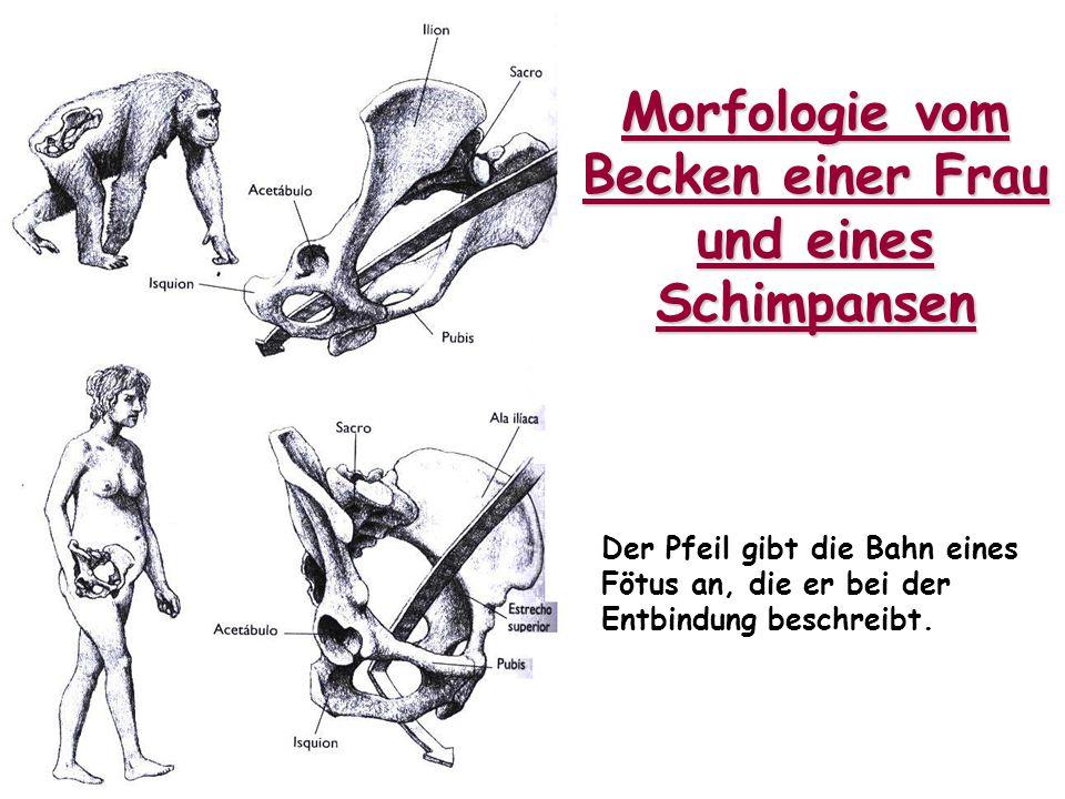 Morfologie vom Becken einer Frau und eines Schimpansen