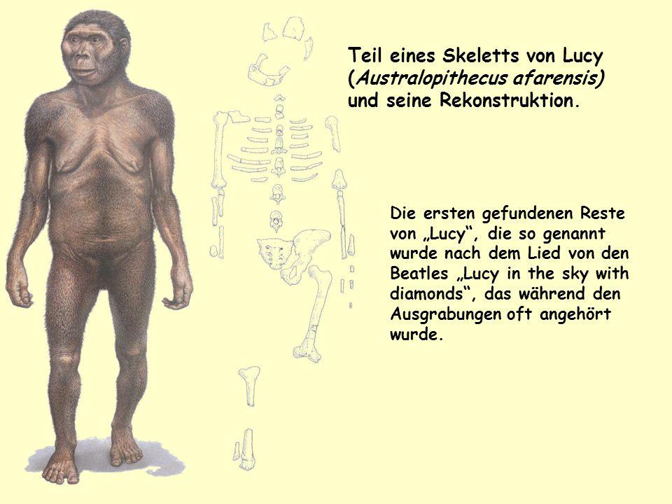 Teil eines Skeletts von Lucy (Australopithecus afarensis) und seine Rekonstruktion.