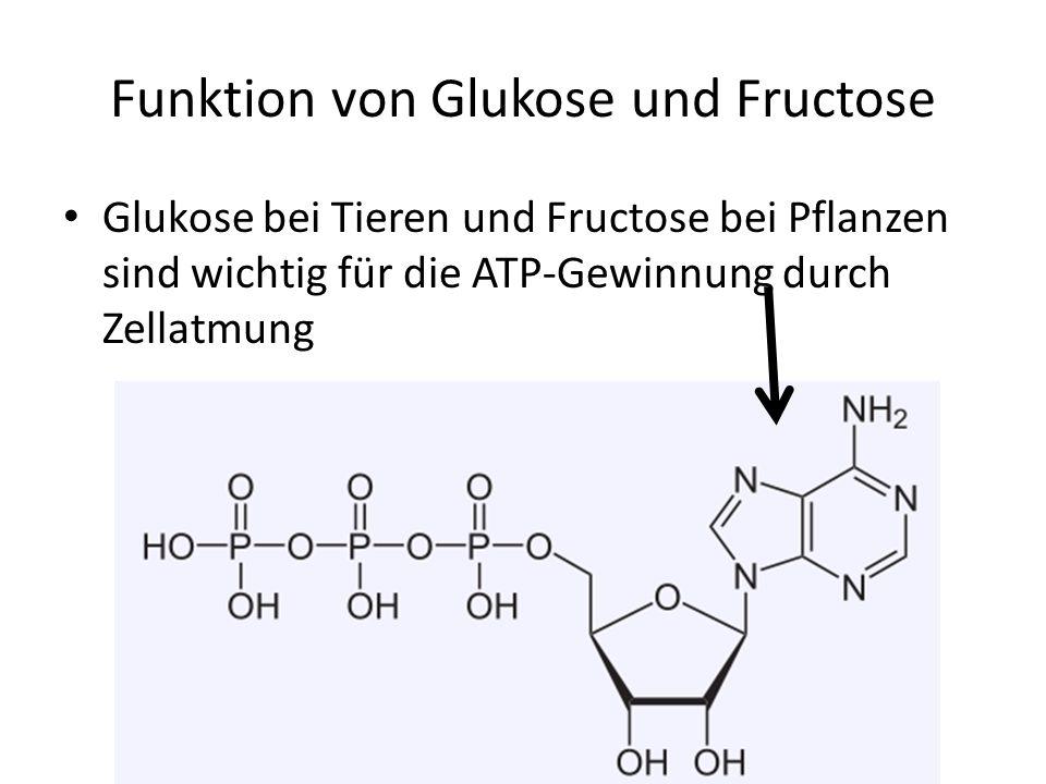 Funktion von Glukose und Fructose