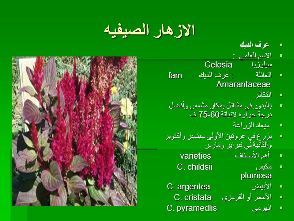 الازهار الصيفيه عرف الديك الاسم العلمي : سيلوزيا Celosia