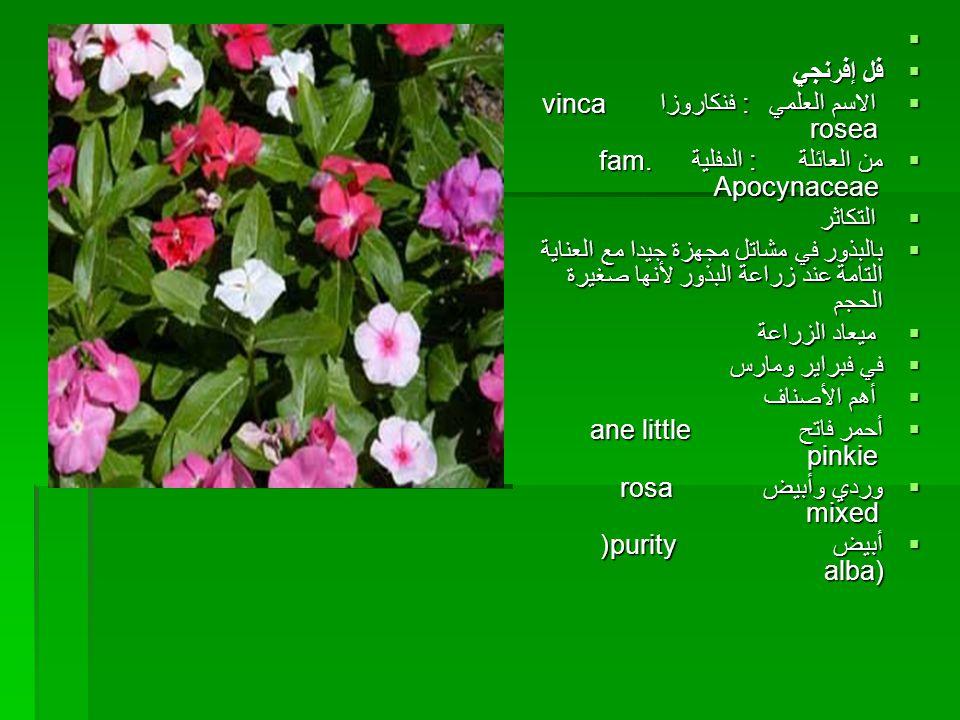 فل إفرنجي. الاسم العلمي : فنكاروزا vinca rosea. من العائلة : الدفلية fam. Apocynaceae.