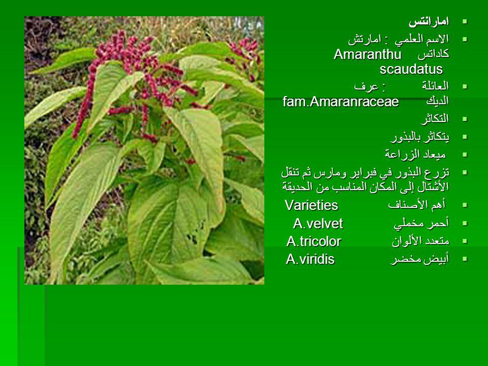 امارانتس الاسم العلمي : امارتش كاداتس Amaranthu scaudatus العائلة : عرف الديك fam.Amaranraceae.