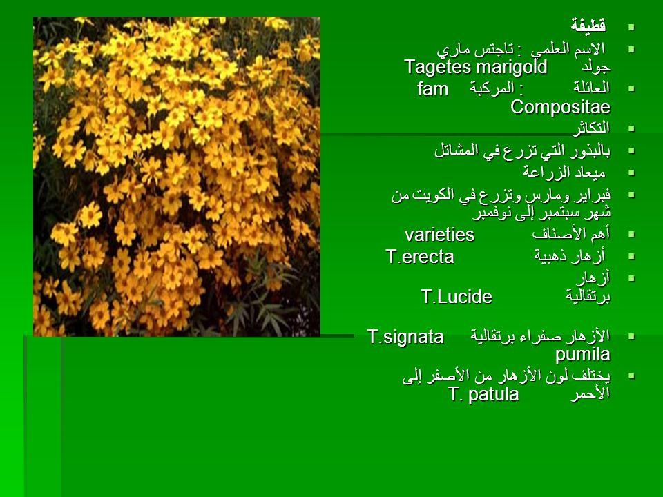 قطيفة الاسم العلمي : تاجتس ماري جولد Tagetes marigold. العائلة : المركبة fam Compositae.