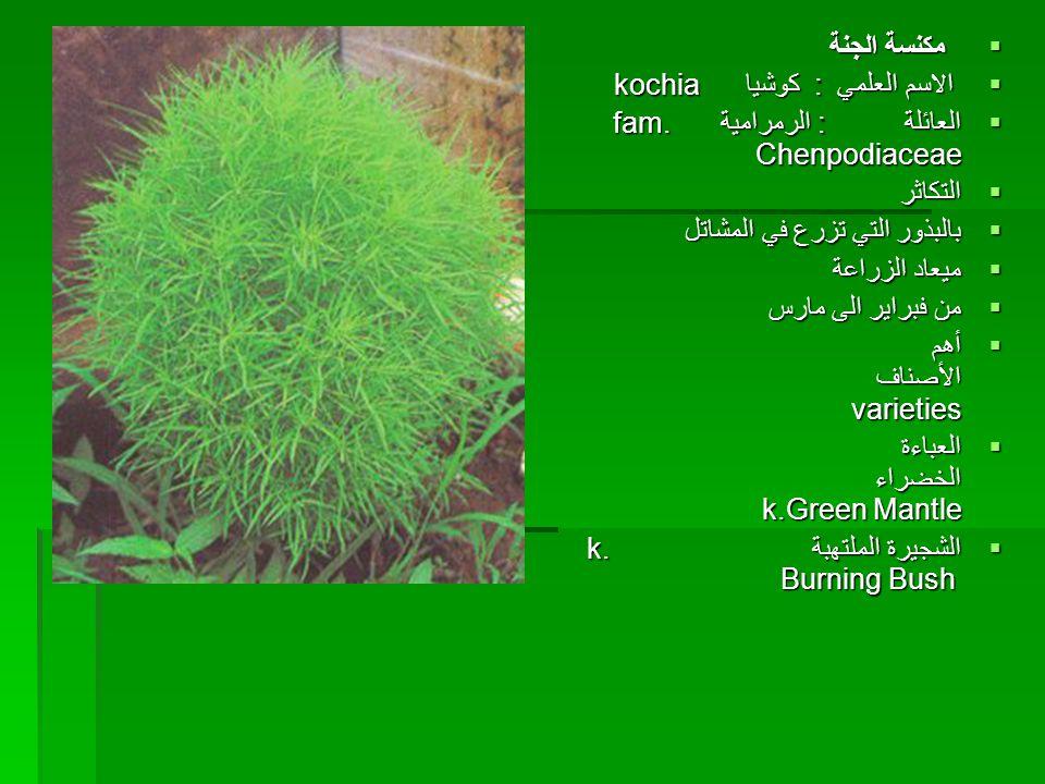 مكنسة الجنة الاسم العلمي : كوشيا kochia. العائلة : الرمرامية fam. Chenpodiaceae.
