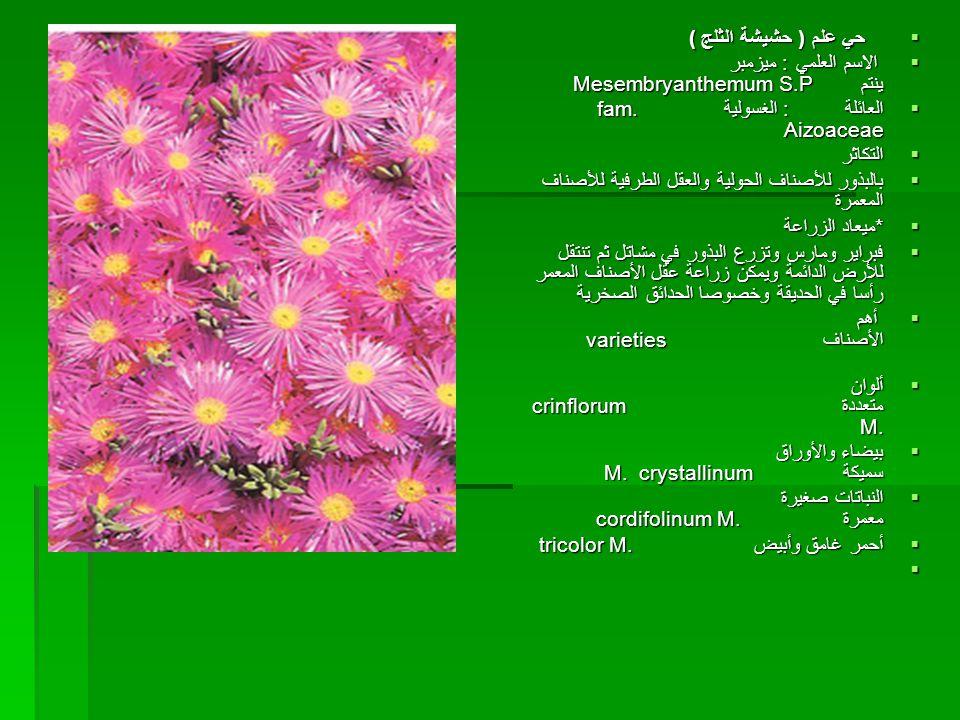 حي علم ( حشيشة الثلج ) الاسم العلمي : ميزمبر ينتم Mesembryanthemum S.P