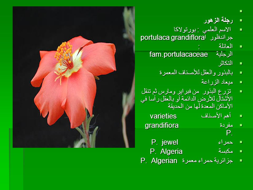 رجلة الزهور. الاسم العلمي : بورتولاكا جراندفلور اportulaca grandiflora. العائلة : الرجلية fam.portulacaceae
