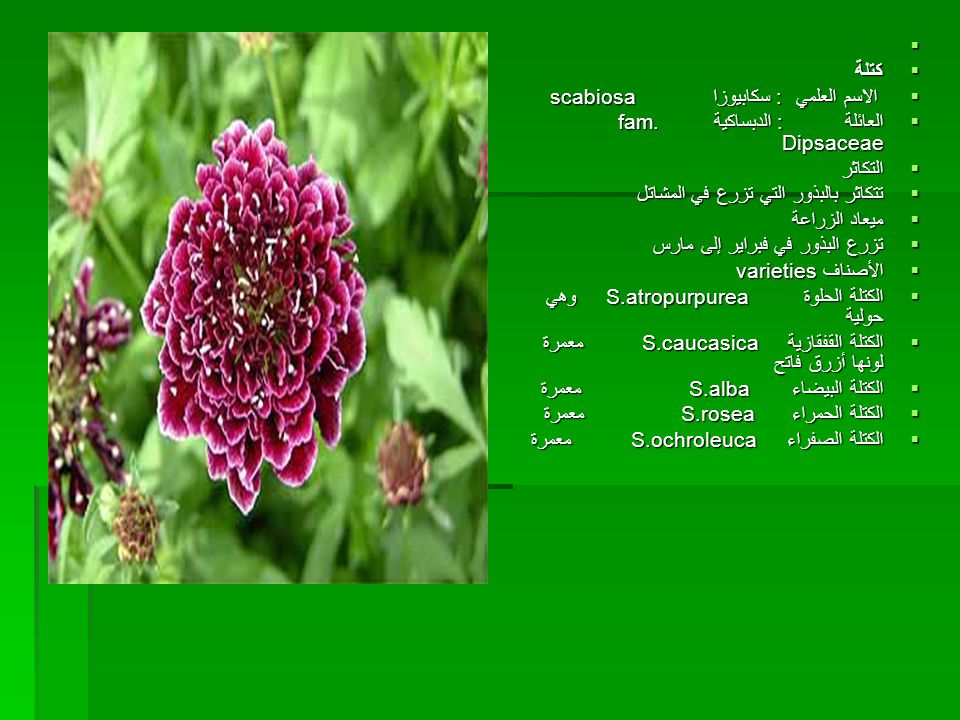 كتلة. الاسم العلمي : سكابيوزا scabiosa. العائلة : الدبساكية fam. Dipsaceae.