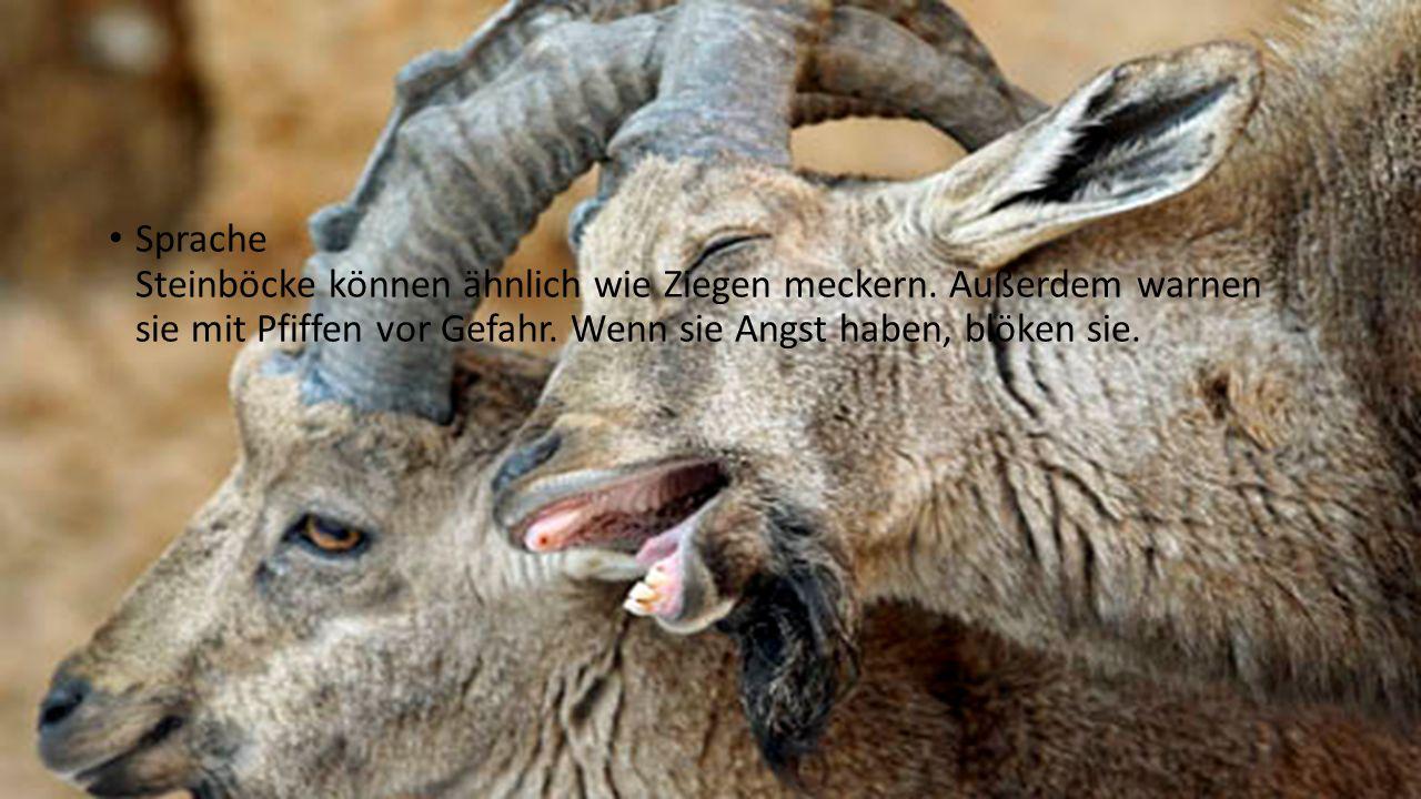Sprache Steinböcke können ähnlich wie Ziegen meckern