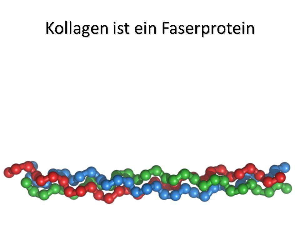 Kollagen ist ein Faserprotein