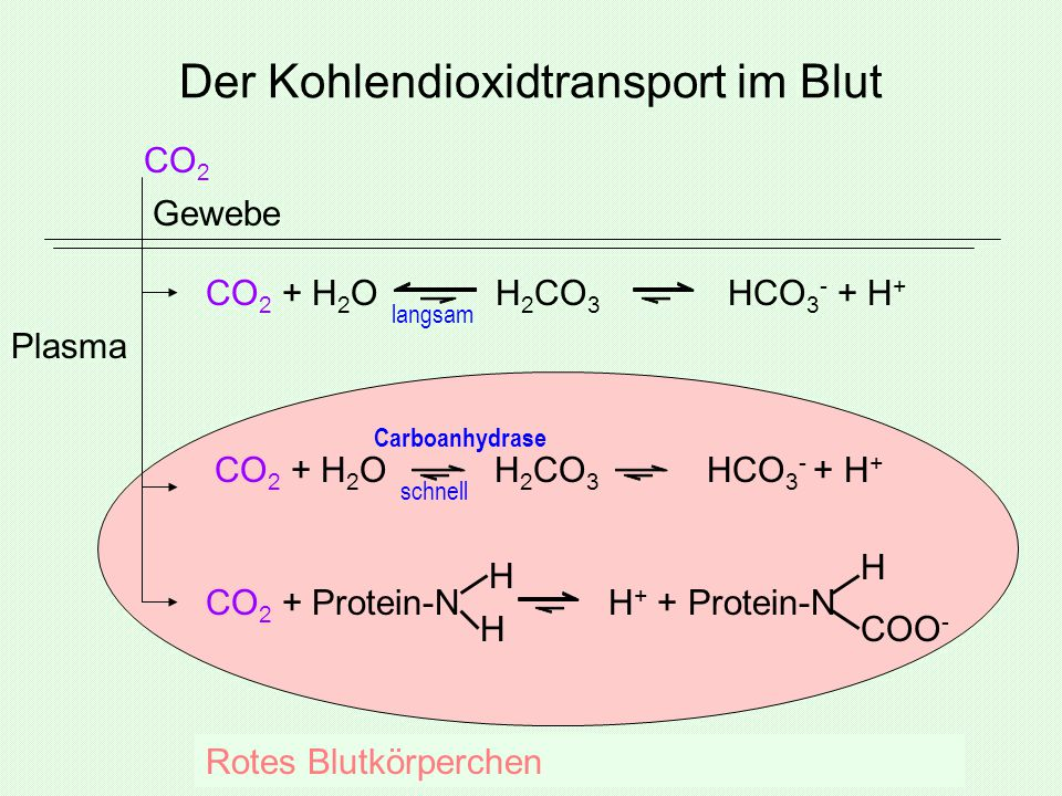 Der Kohlendioxidtransport im Blut