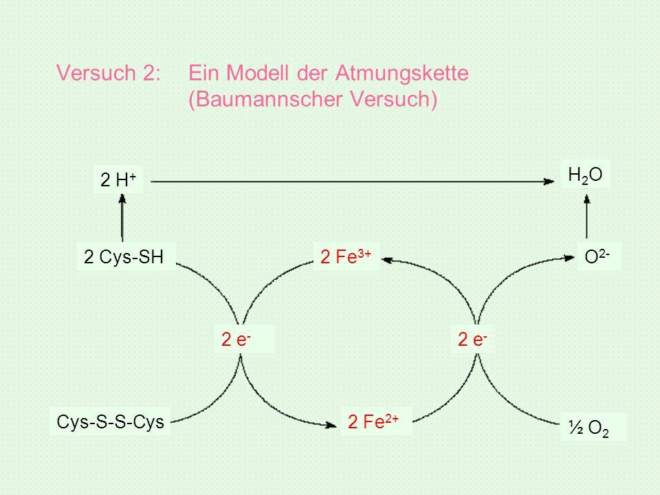 Versuch 2: Ein Modell der Atmungskette (Baumannscher Versuch)