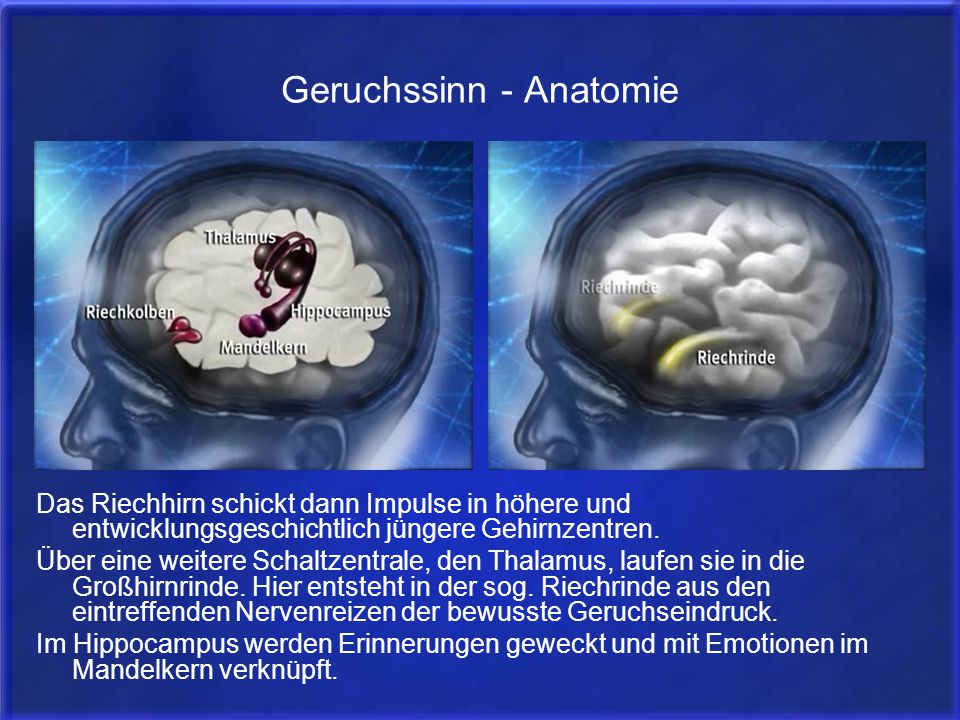 Geruchssinn - Anatomie