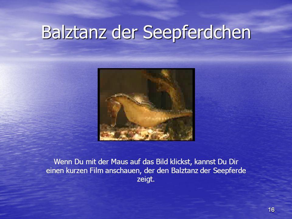 Balztanz der Seepferdchen