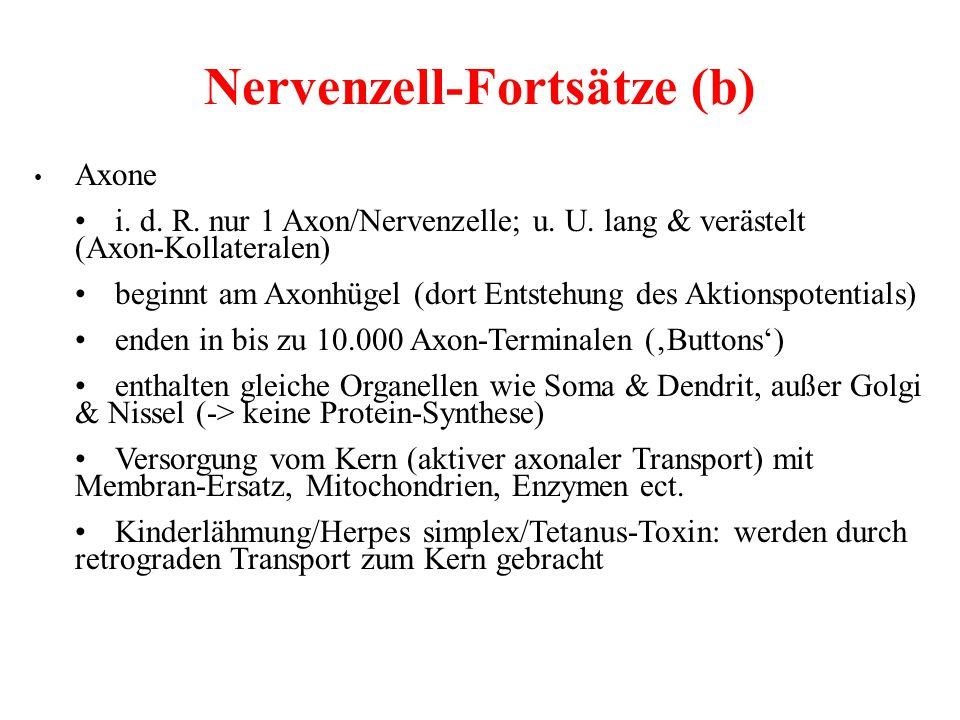 Nervenzell-Fortsätze (b)