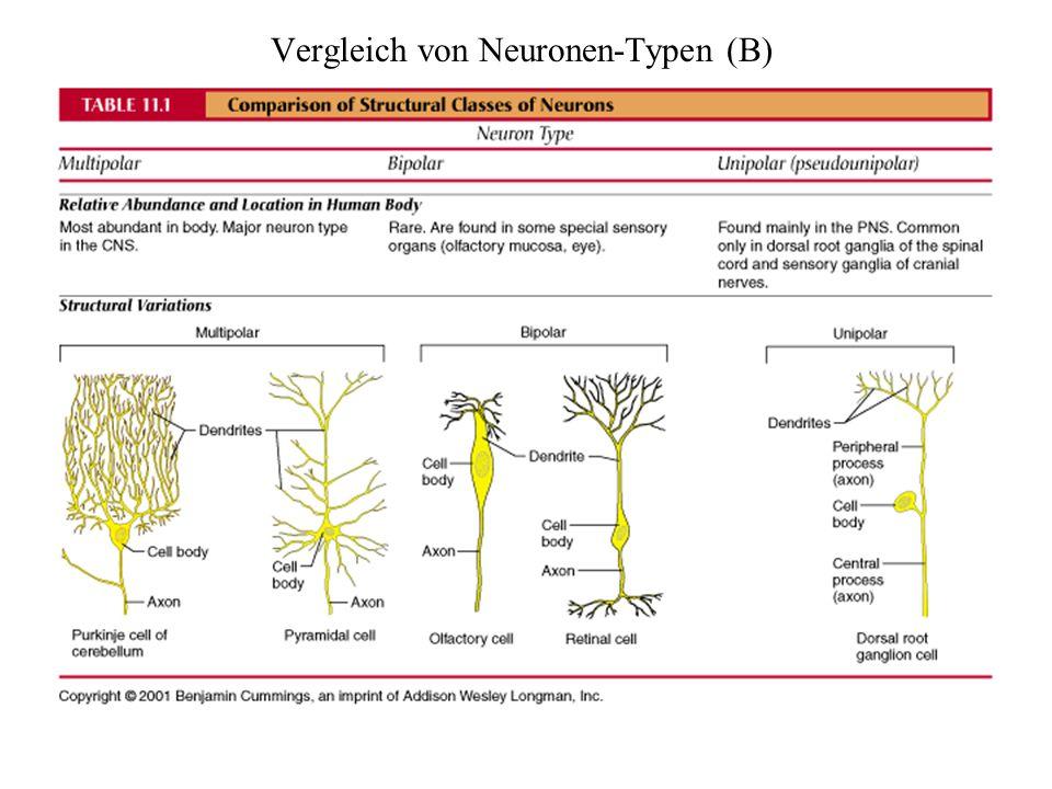Vergleich von Neuronen-Typen (B)