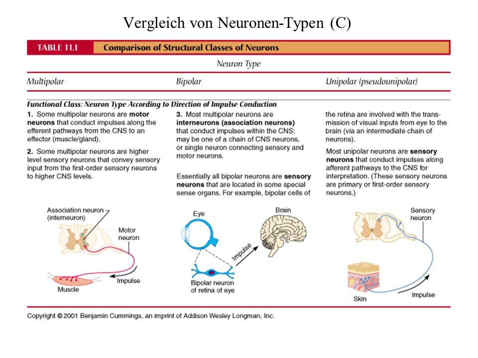 Vergleich von Neuronen-Typen (C)