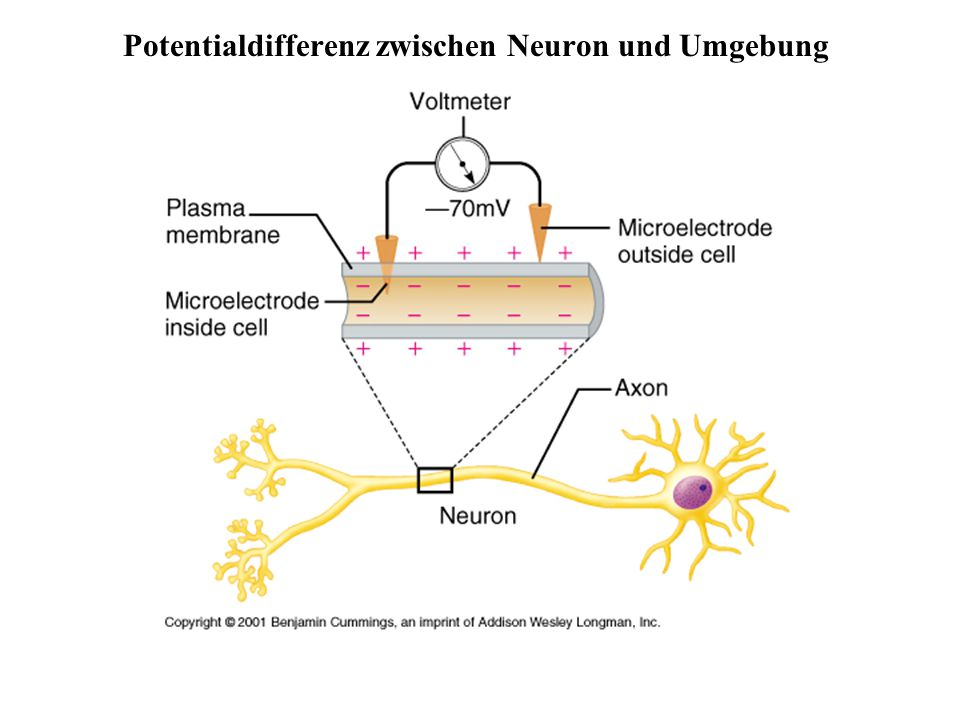 Potentialdifferenz zwischen Neuron und Umgebung