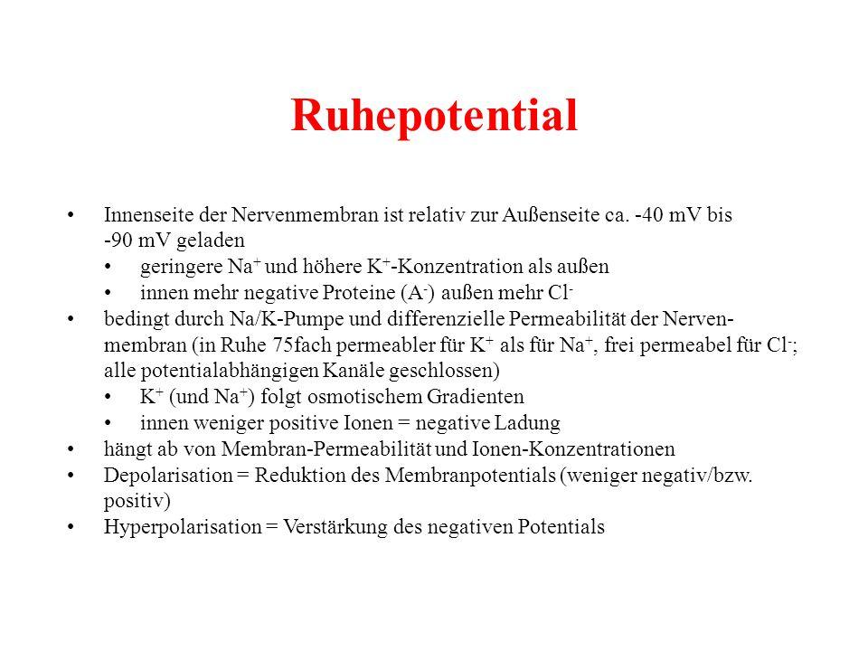 Ruhepotential • Innenseite der Nervenmembran ist relativ zur Außenseite ca. -40 mV bis. -90 mV geladen.