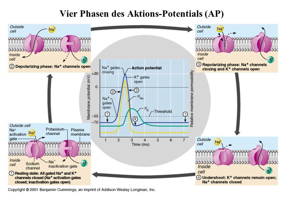 Vier Phasen des Aktions-Potentials (AP)