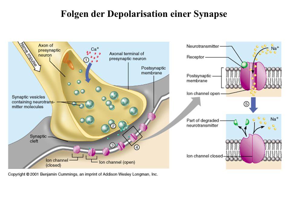 Folgen der Depolarisation einer Synapse