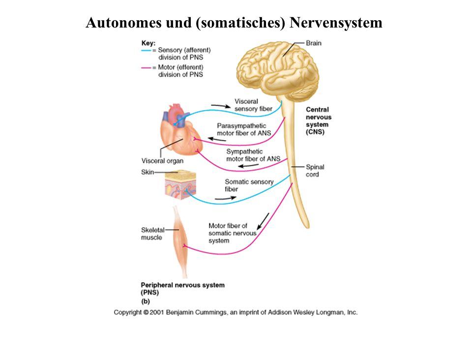 Niedlich Drei Teile Des Nervensystems Galerie - Menschliche Anatomie ...
