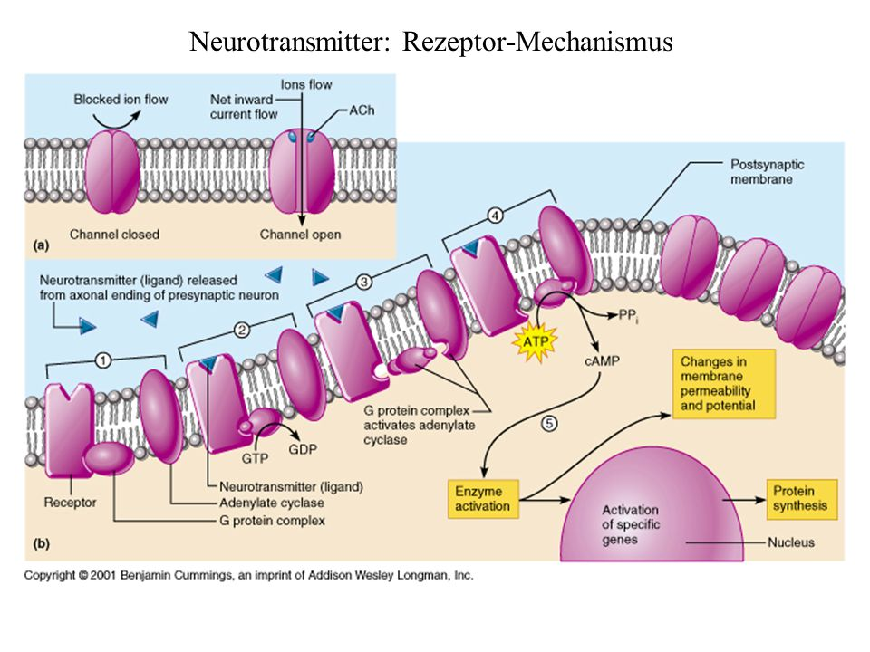 Neurotransmitter: Rezeptor-Mechanismus