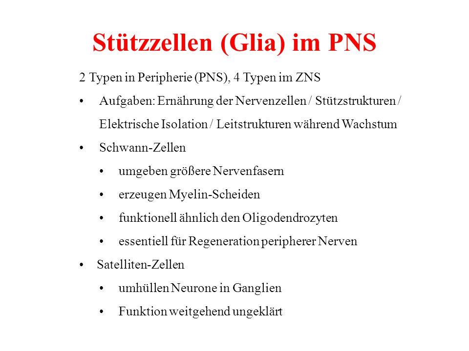Stützzellen (Glia) im PNS
