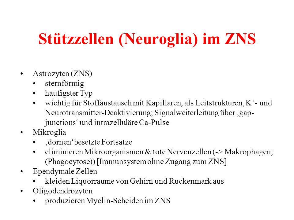 Stützzellen (Neuroglia) im ZNS