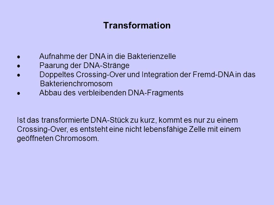 Transformation · Aufnahme der DNA in die Bakterienzelle