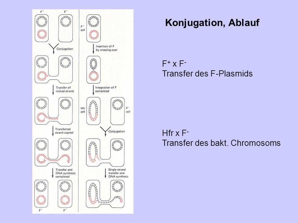 Konjugation, Ablauf F+ x F- Transfer des F-Plasmids Hfr x F-